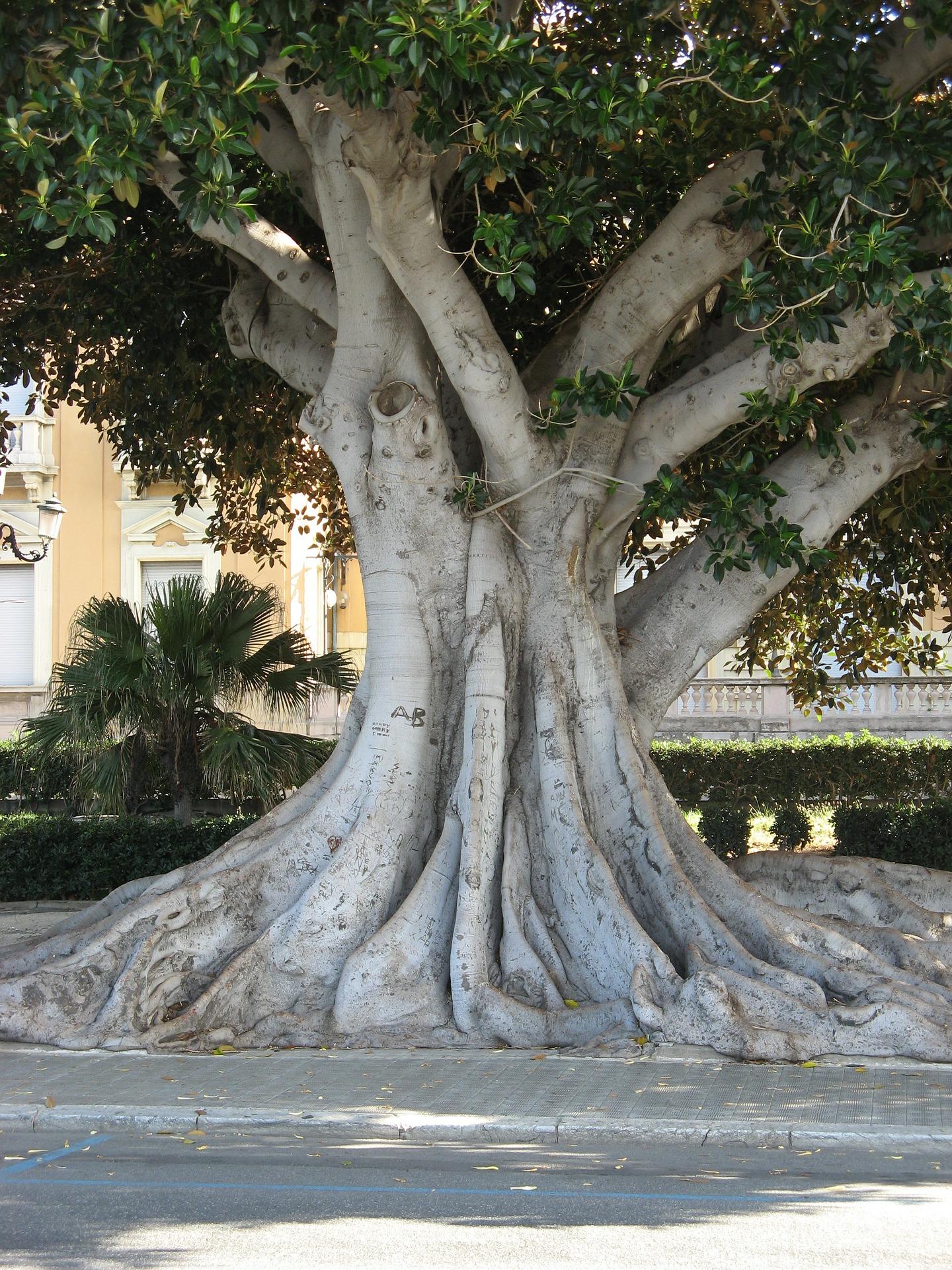 Reggio Calabria, árvore na orla