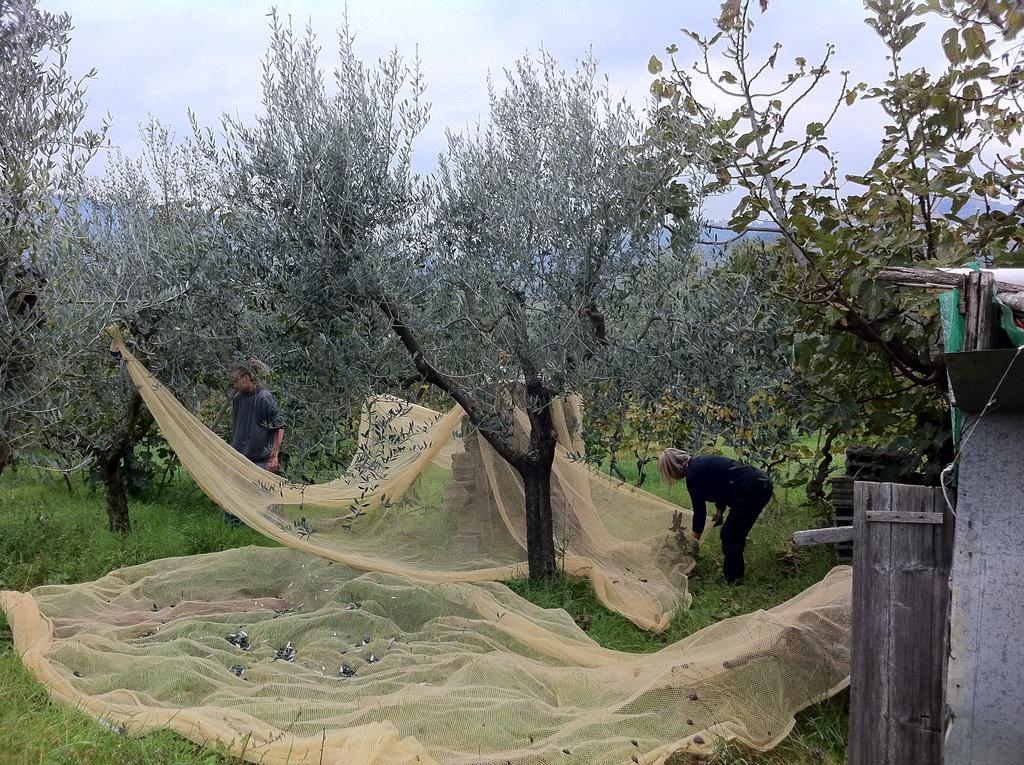 Recolher oliva